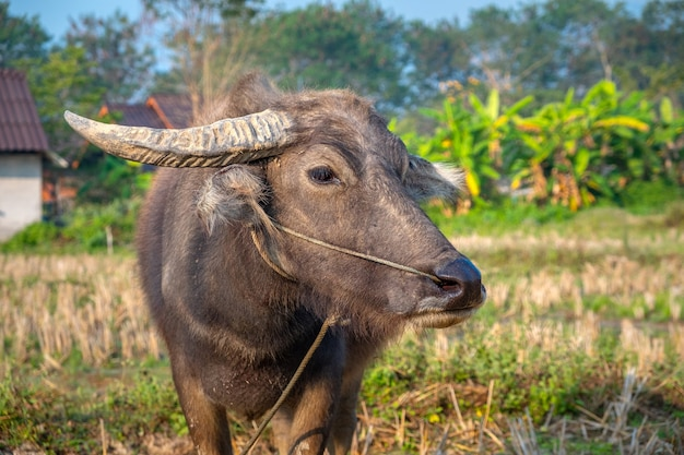 Young buffalo close-up on a pasture on a rustic background. pai, thailand.