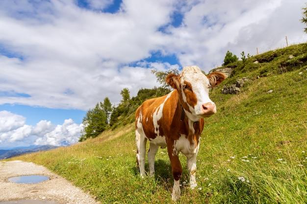 イタリアアルプスの道路上の若い雄牛。イタリアのドロミテ。トレンティーノアルトアディジェ