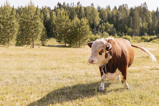 A young bull with a brown color grazes on a green summer meadow against a forest background,