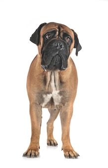 Young bullmastiff in front of white space