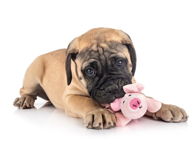 Young bullmastiff in front of white
