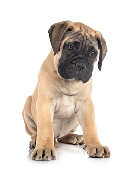 Young bullmastiff isolated on white