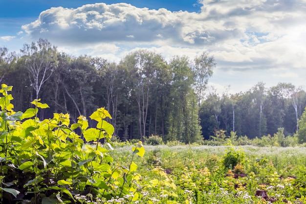 鬱蒼とした森の背景に若い茂み。晴れた日に森の真ん中に空き地