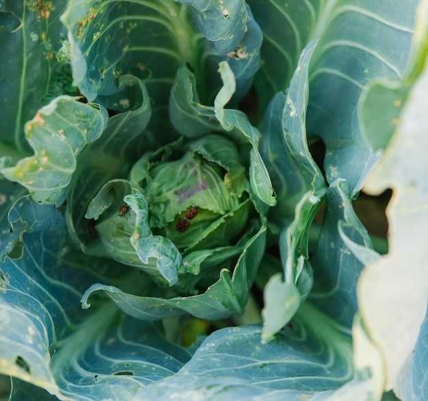 Young cabbage in the garden. pests eat the leaves. insect damage in agriculture.
