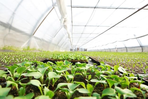 큰 온실에서 자라는 어린 양배추 묘목.