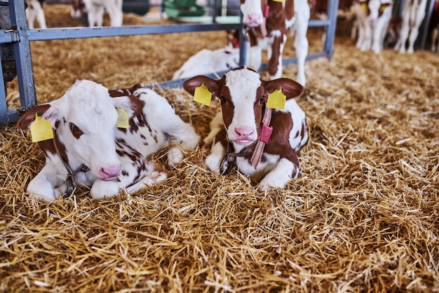 Молодой теленок в питомнике для коров на молочной ферме. новорожденное животное.