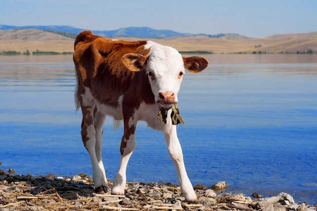 Young calf standing at the water