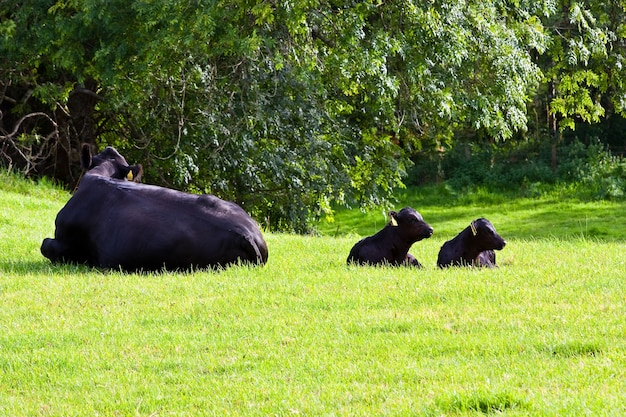 Молодые телят в зеленом поле, сазерленд, шотландия