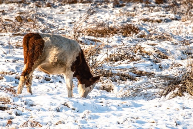 Young calves graze in a field in winter, looking for grass under the snow