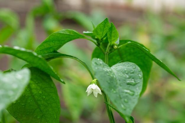 칠리 고추의 젊은 고추 꽃과 꽃 봉 오리