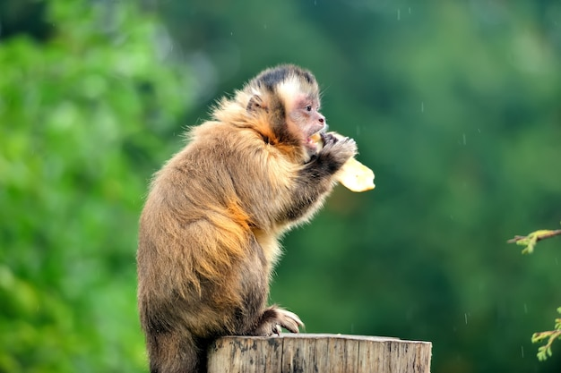 Молодая обезьяна капуцин ест банан