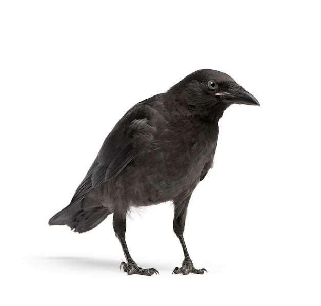 Young carrion crow, corvus corone on a white isolated