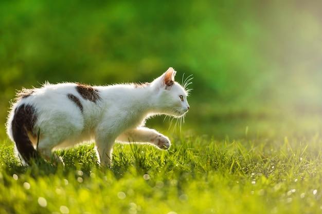 牧草地のバックライト付きの若い猫狩猟