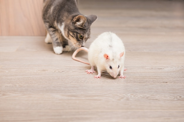 Young cat is playing with rat at home