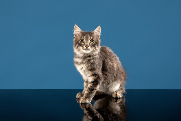 Young cat or kitten sitting in front of a blue