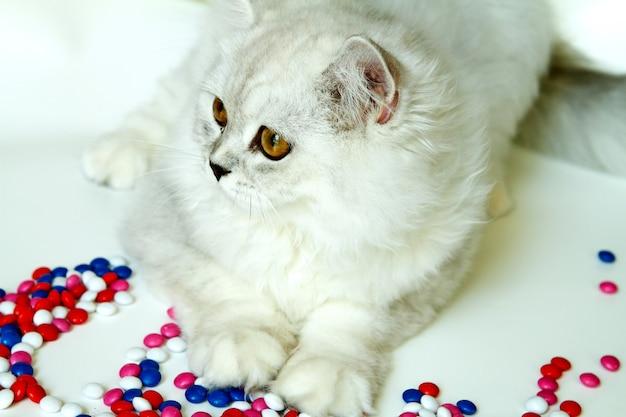 과자와 흰색 배경에 젊은 고양이