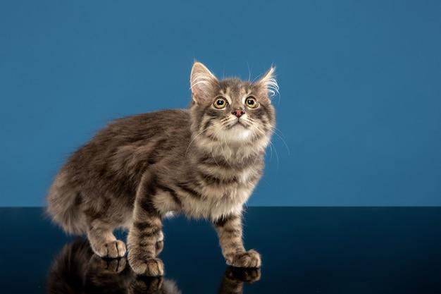 젊은 고양이 또는 새끼 고양이 파란색 앞에 앉아. 유연하고 예쁜 애완 동물.
