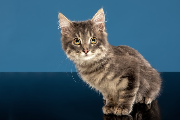 젊은 고양이 또는 새끼 고양이 파란색 벽 앞에 앉아. 유연하고 예쁜 애완 동물.