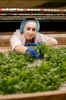 彼女の水耕栽培農場から緑のバジルを収穫している若い白人女性。有機野菜と健康食品を育てるというコンセプト。水耕栽培野菜畑。