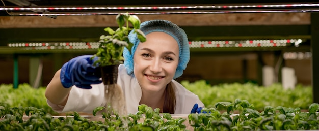 Young caucasian woman harvesting greens basil from her hydroponics farm.