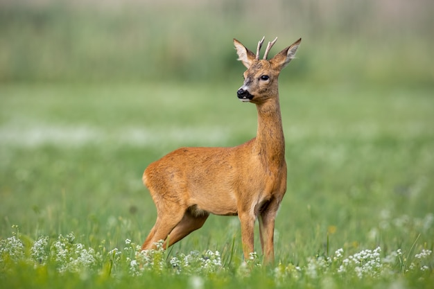 Young cautious roe deer buck on blossoming meadow in summer.