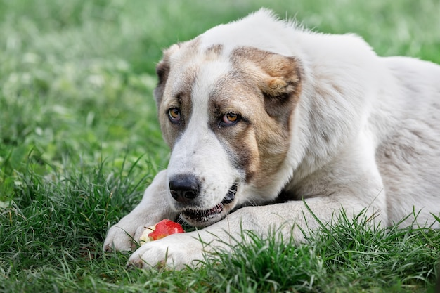 Young central asian shepherd dog laying on the green grass and eats red apple