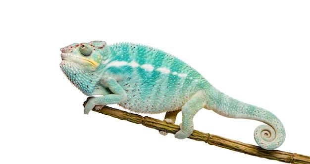 Молодой хамелеон furcifer pardalis - ankify на белом изолированные