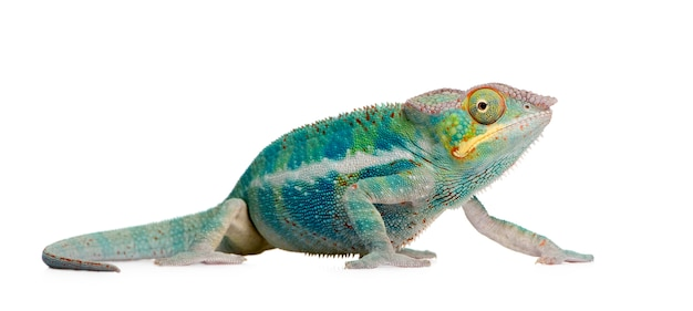 Young chameleon furcifer pardalis - ankify on a white isolated