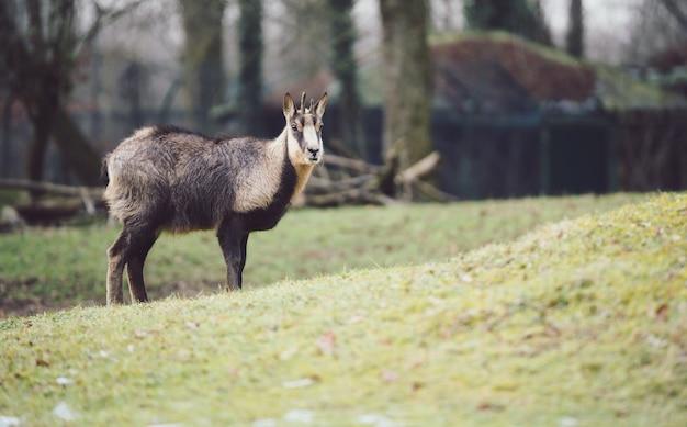 若いシャモア-山羊カモシカ-傾斜した芝生の上