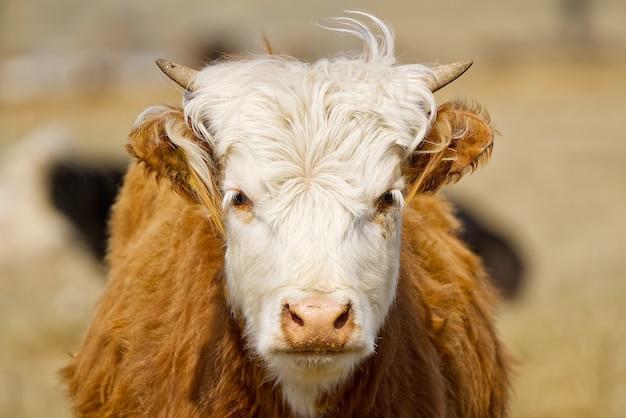 젊은 챈들러 herefords 암소 초상화 갈색과 흰색 페인트 암소 흰 머리를 가진 귀여운 오렌지 암소