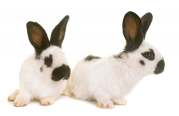 Young checkered giant rabbits