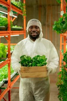 Молодой веселый агроинженер африканской национальности держит деревянную коробку с зелеными саженцами шпината, стоя в проходе внутри вертикальной фермы