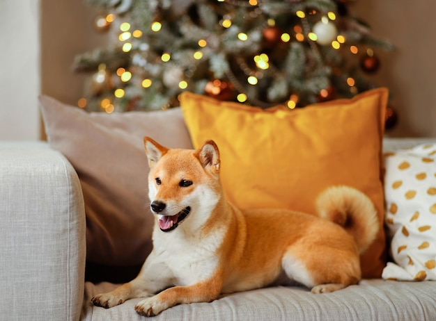 A young cheerful dog shiba inu is lying on a gray sofa with colored decorative pillows