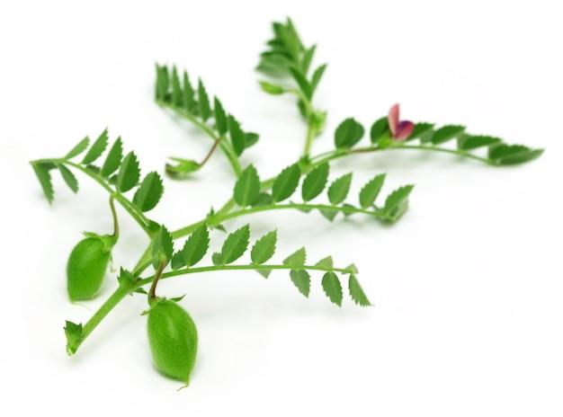 白い背景の上のヒヨコマメ植物の若いひよこエンドウ豆の鞘