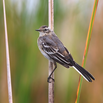 Young chick on a white wagtail cane.