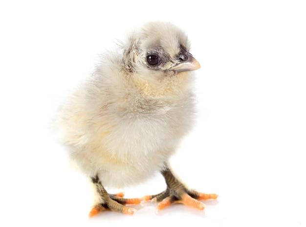 Молодой цыпленок