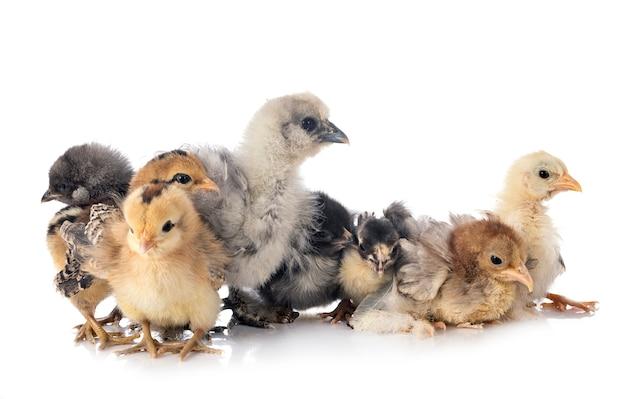 Молодые цыплята на белом фоне
