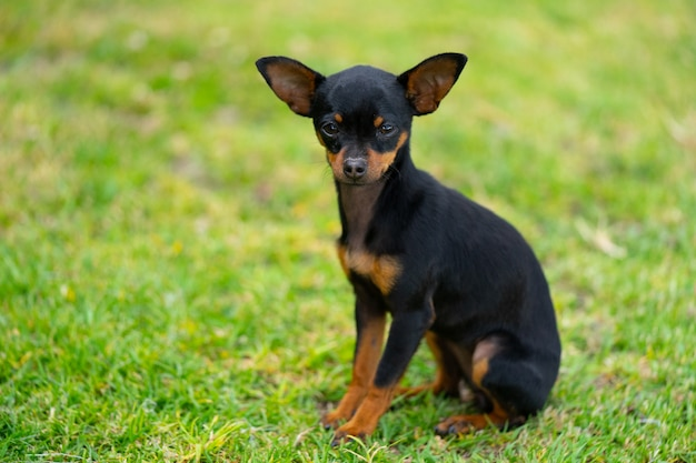 A young chihuahua on the grass