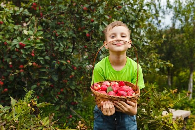 新鮮な有機ジューシーな赤いリンゴのバスケットを持っている少年は、屋外の緑豊かな庭園で収穫します。