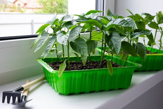 Young chili pepper seedlings in green container on window sill. home organic farming