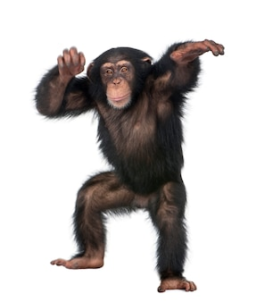 Young chimpanzee dancing - simia troglodytes on a white isolated