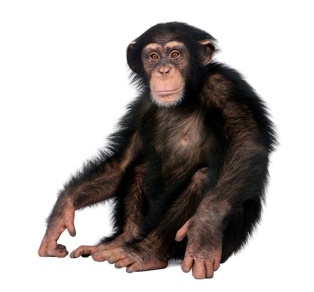 白い背景の前で若いチンパンジー