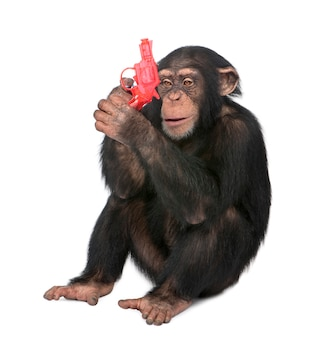 銃で遊ぶ若いチンパンジー