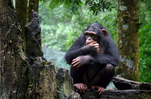 Молодой шимпанзе сидит на скале