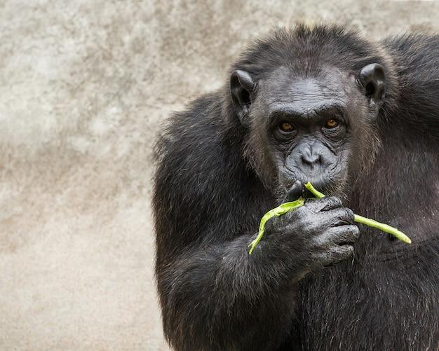어린 침팬지가 먹고 있습니다.