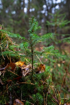 Young christmas tree in the park. a very small christmas tree in the autumn forest grows for christmas