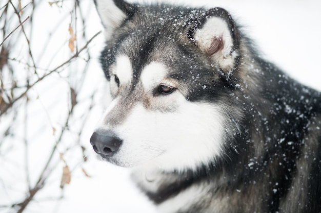 Young clever beautiful alaskan malamute looking forward in snow. dog winter portrait.