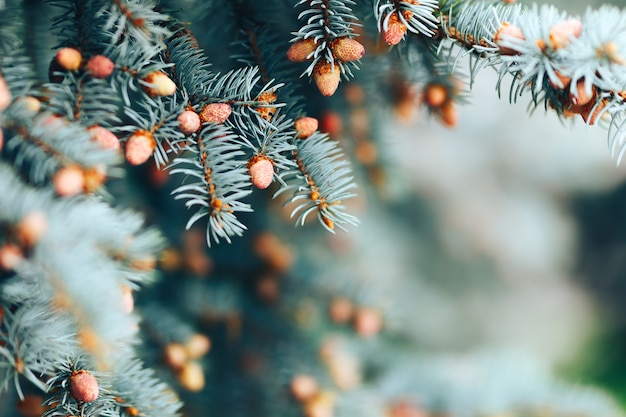 The young cones of blue spruce. springtime background with new spring growth on dove fir.