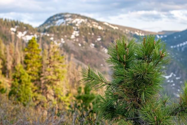 Молодые хвойные ели с побегами на фоне размытых гор. селективный акцент на ветвях.