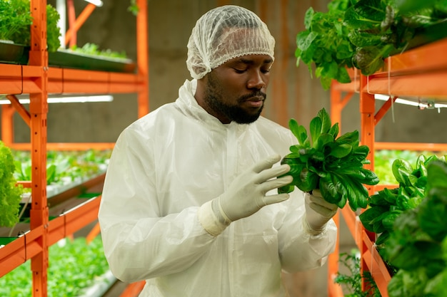 大規模な垂直農場内の棚のそばに立っている間、緑のほうれん草の苗を保持しているアフリカ民族の若い現代農業エンジニア